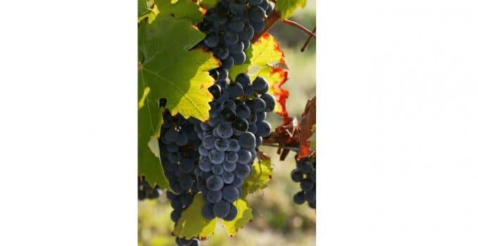 vignes-matinales-216-bis1