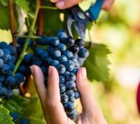 Les français champions en récolte vin