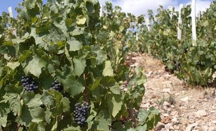 Les vins produits en 2015 seront-ils de bonne qualité ?