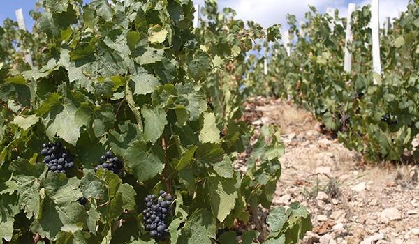 Les vins de 2015 seront-ils de bonne qualité ?