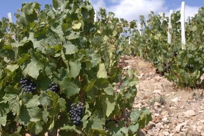 vignes-bourgogne-sd