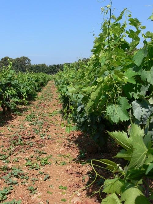 Les vignes de Bandol