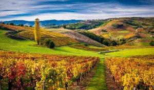 Vignoble du Beaujolais aux couleurs d'automne