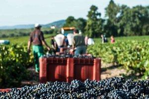 Premier plan avec grappes de raisins fraîchement ramassées et second plan avec un tracteur qui porte le même chargement