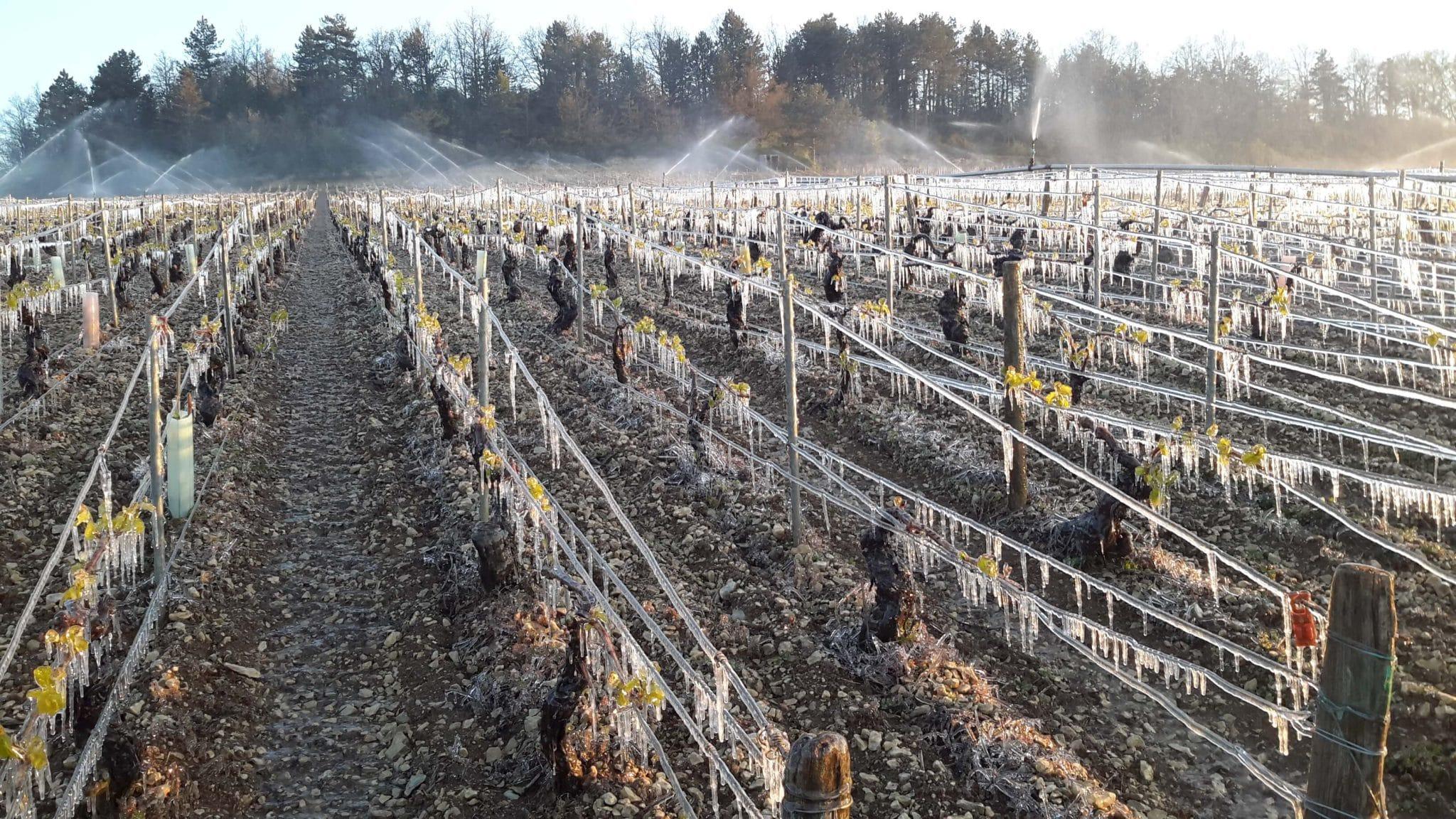 gel dans les vignes