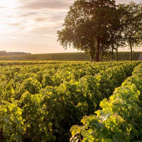 Vignes Saint Julien