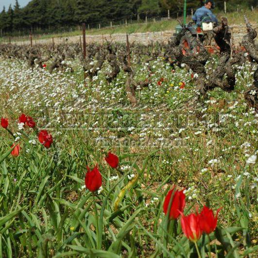 Travail de la vigne au printemps