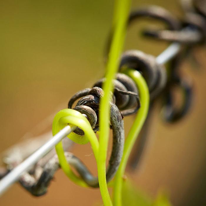 La vigne du Domaine David Duband